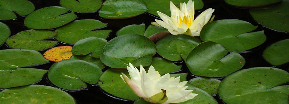 Lily Pads and Lotus at Springdale-960x346